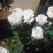 Yes - we have white roses!