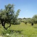 Olive Trees at Tantur