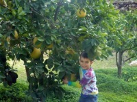 Picking Pomello at Tantur