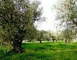 One of the many Olive trees at Tantur
