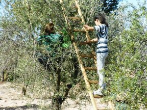 Israeli and Palestinian children coming together to work on the Olive Harvest